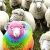 Rainbow sheep (2).jpg